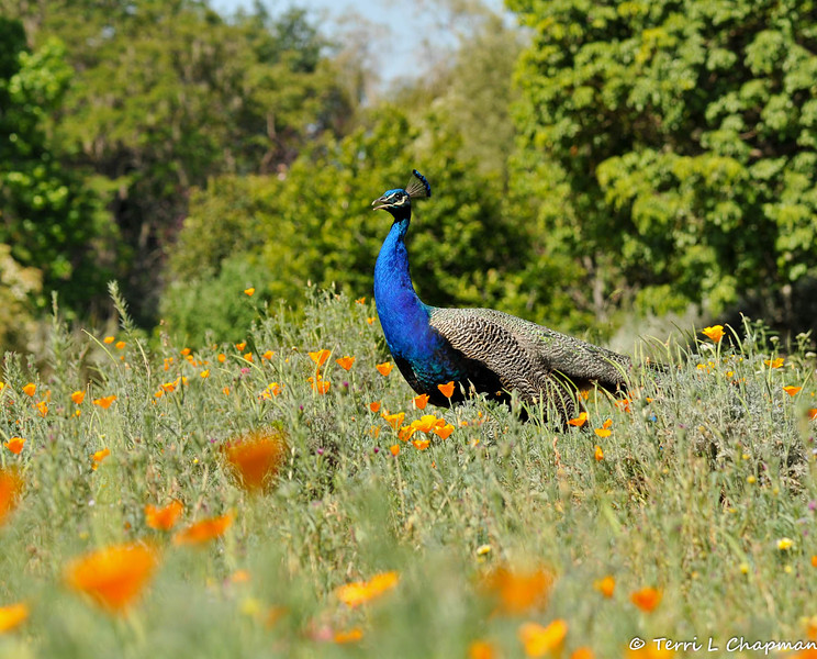 """A male Indian Peacock, amongst the California Poppies, in the """"Crescent Farm""""  at the LA Arboretum. The Crescent Farm is an educational, hands-on, chemical free environment, promoting water conservation and sustainable gardening."""