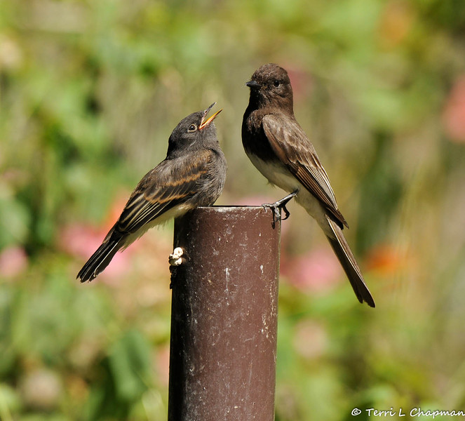 A hungry fledgling Black Phoebe with one of its parents