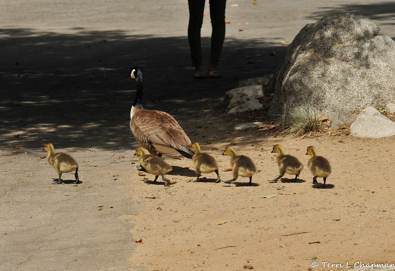 A mother Canada Goose with her six goslings at Descanso Gardens