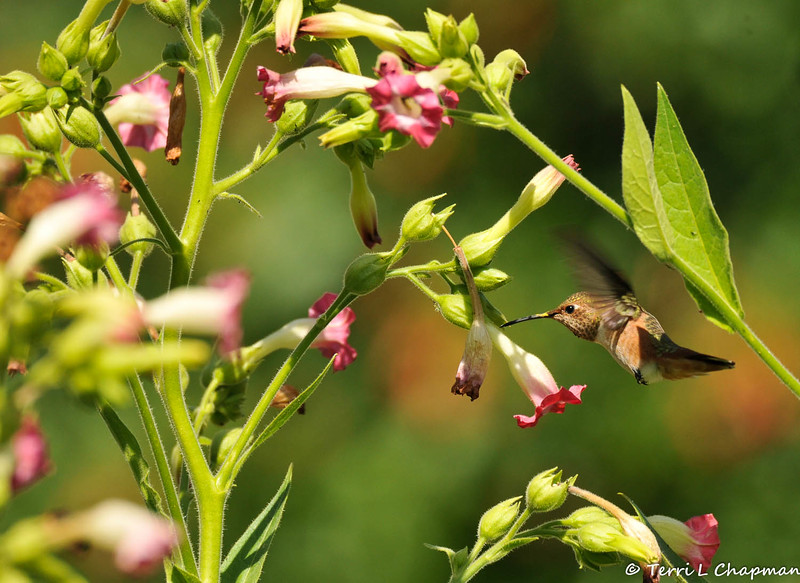 An Allen's Hummingbird hovering over a pink tubular flower bush