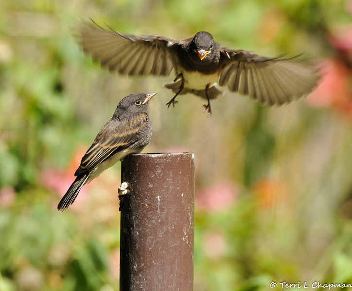 A fledgling Black Phoebe with one of its parents flying towards it