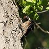 A female Nuttall's Woodpecker preening her feathers