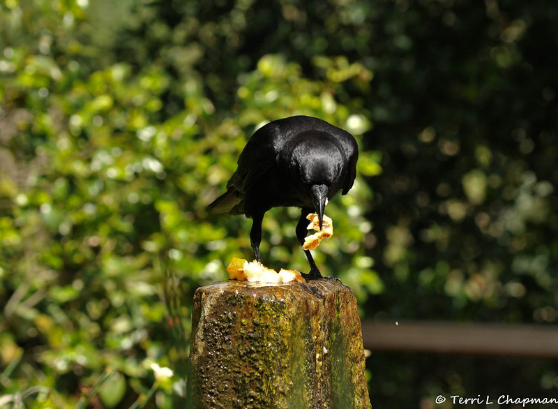 An American Crow in a decorative water fountain at Descanso Gardens. A visitor had discarded a piece of bread and the crow was dunking the bread in the water to soften it so it could eat it!