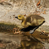 A Gosling getting ready to take a drink