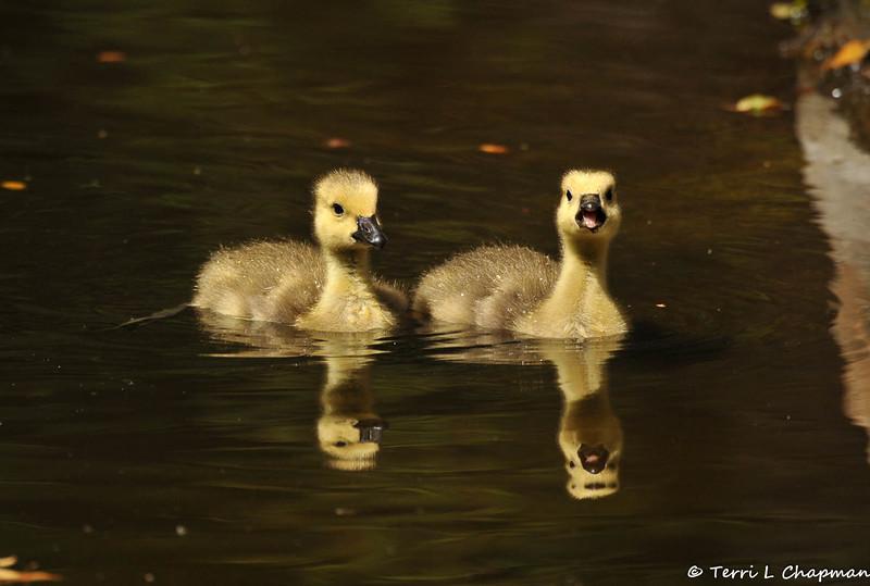 Two Goslings taking a swim