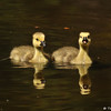 Two Goslings taking a swim