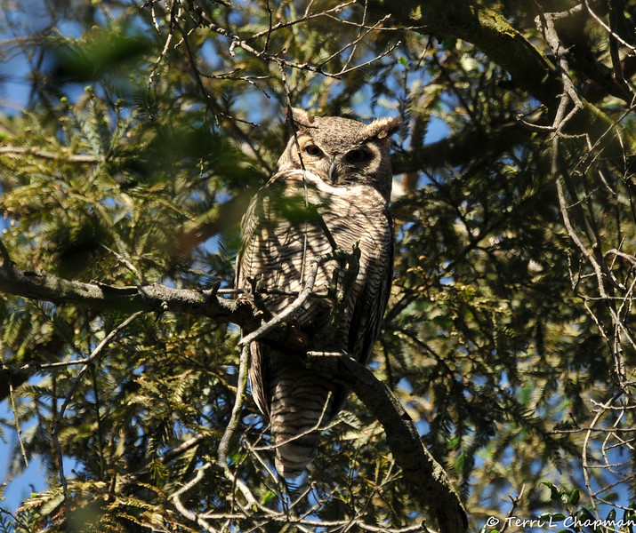 A mother Great Horned Owl keeping a careful watch on me as her Owlet is nearby