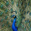 A male Indian Peacock displaying his tail feathers