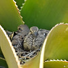 Baby Mourning Doves resting in their nest which is in the  fold of an Aloe plant.