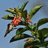 An Allen's Hummingbird sipping nectar from a trumpet vine flower