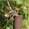 A hungry fledgling Black Phoebe waiting for one of its parents to bring food