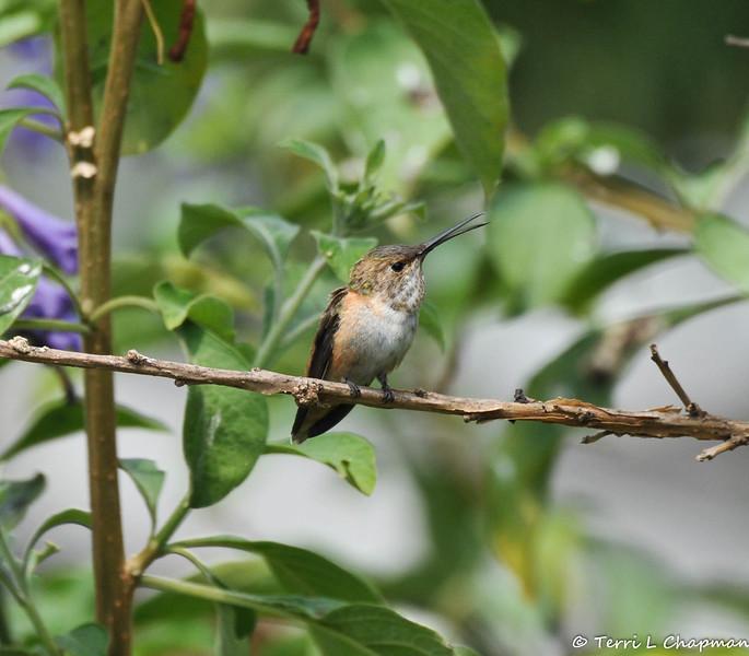 A female Allen's Hummingbird vocalizing