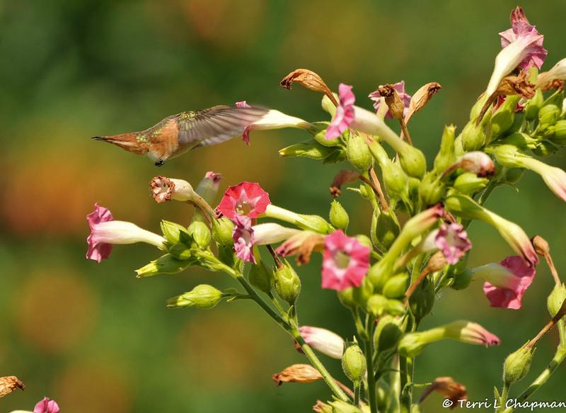An Allen's Hummingbird sipping nectar from a pink tubular flower