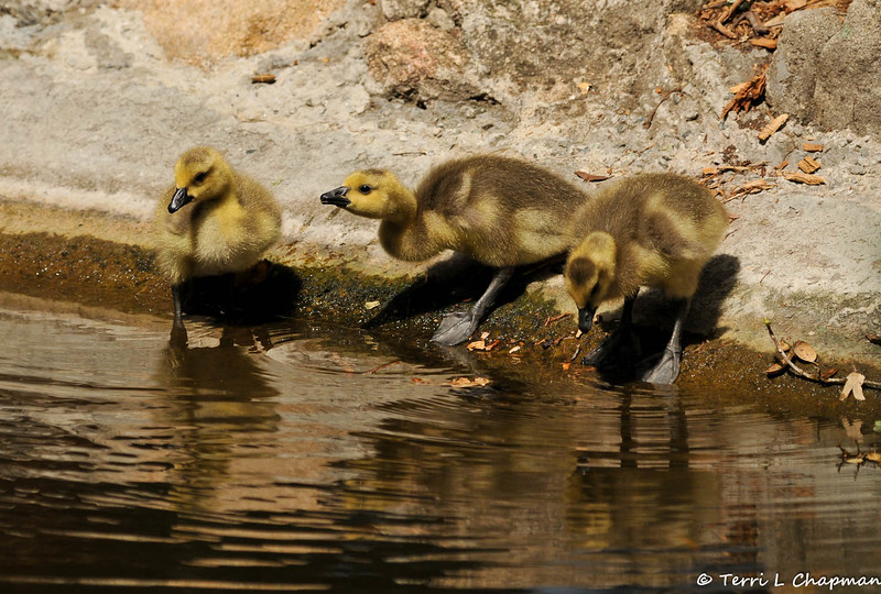 Three Goslings getting ready to take a drink