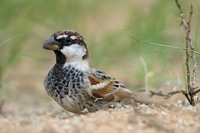Spanish Sparrow (Passer hispaniolensis) at Aydar Kul, Jizzakh, Uzbekistan