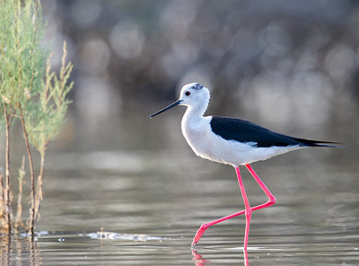 Black Winged Stilt (Himantopus himantopus) at Jaeran, Bukhara, Uzebkistan