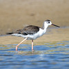 Black-winged Stilt (Himantopus himantopus) at Muynak Lake, Muynak, Uzbekistan