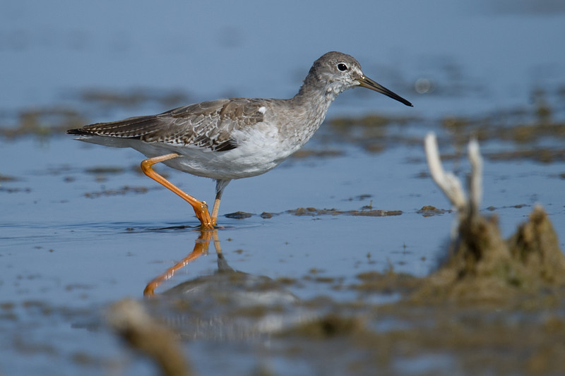 Common Redshank (Tringa totanus) at Aydar Lake, Nuratau, Uzbekistan