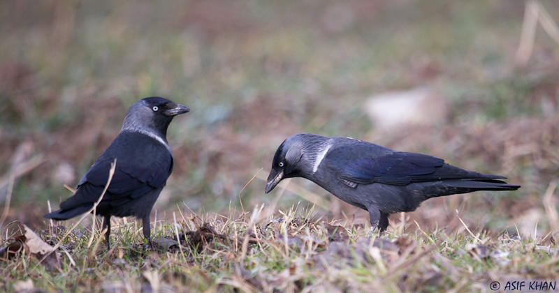 Jackdaw / галка (Corvus monedula) at Angren