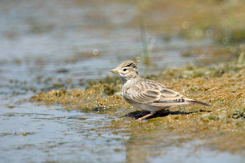 Asian Short-toed Lark (Calandrella cheleensis) at Gazli, Uzbekistan