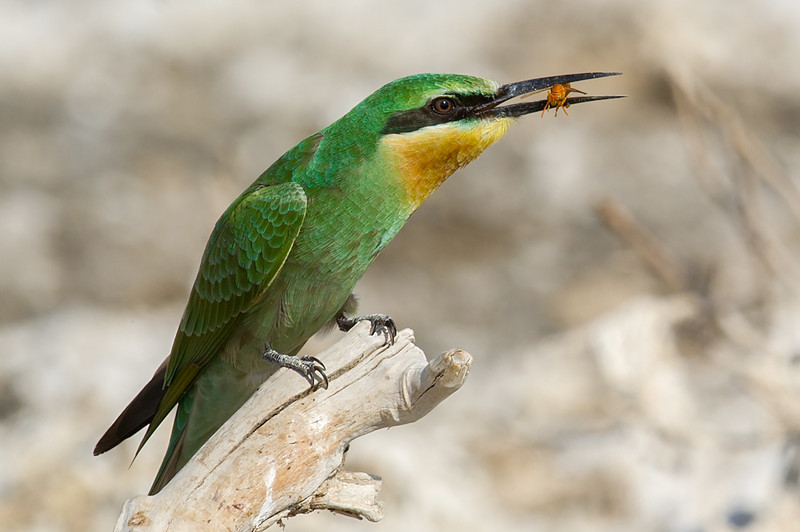Blue-cheeked Bee-eater (Merops persicus) at Aydar Lake, Nuratau, Uzbekistan