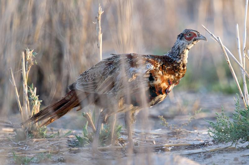 Common Pheasant (Phasianus colchicus) at Chuqur-qaq, Near Muynak, Uzbekistan