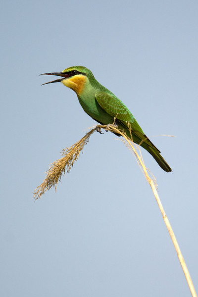 Blue-cheeked Bee-eater (Merops persicus) at Kurgantepa, Uzbekistan