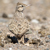 Crested Lark (Galerida cristata) at Aktau Mountains, Zarafshan, Uzbekistan