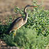 Purple Heron (Ardea purpurea) at Khorezm Fish Farm, Khiva, Uzbekistan