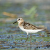 Little Stint (Calidris minuta) at Aydar Lake, Nuratau, Uzbekistan
