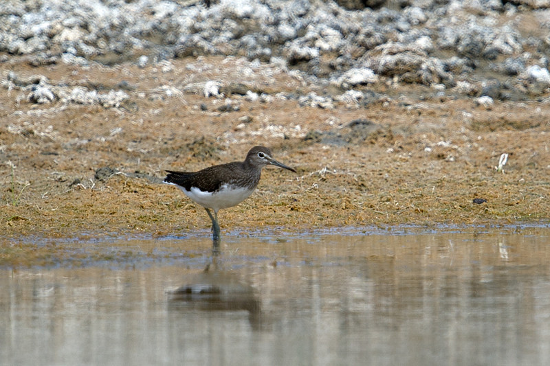 Documentation Shot: Green Sandpiper (Tringa ochropus) at Gazli, Uzbekistan