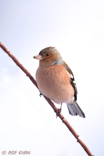 Common Chaffinch / зяблик (Fringilla coelebs) at Yangiabad