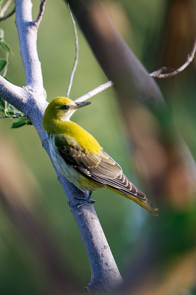 Documentation Shot: Indian Oriole (Oriolus kundoo) at Asraf, Nuratau, Uzbekistan