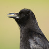 Carrion Crow / Чёрная ворона (Corvus corone) at Yangiabad [3rd May 2015]