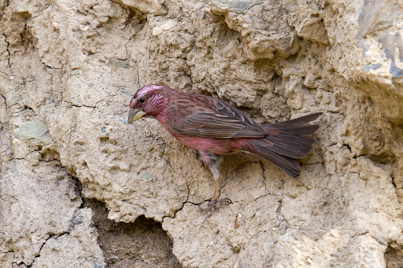 Blyth's Rosefinch (Carpodacus grandis),  at Zaamin National Park, Uzbekistan