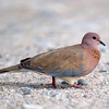 Laughing Dove (Streptopelia senegalensis) at Kurgantepa, Uzbekistan