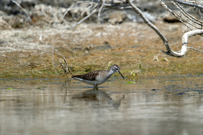 Documentation Shot: Wood Sandpiper (Tringa glareola) at Gazli, Uzbekistan