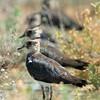 Northern Lapwing (Vanellus vanellus) at Kyzl-Kum, Nuratau, Uzbekistan