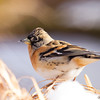 Brambling / вьюрка (Fringilla montifringilla) at Yangiabad (3rd Jan 2015) — at Yangiabad