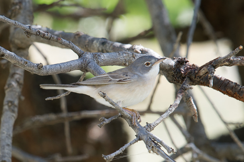 Common Whitethroat (Sylvia communis) at at Asraf, Nuratau, Uzbekistan