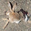 ROADKILL:  Hare at Aktau Mountains, Zarafshan, Uzbekistan