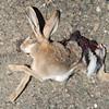 ROADKILL:  Hare at Aktau Mountains, Zarafshan, Uzbekistan