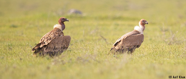 Griffon Vulture / Белоголовый Cип (Gyps fulvus fulvus) at Kyzlkum Steppe [12th April 2015]
