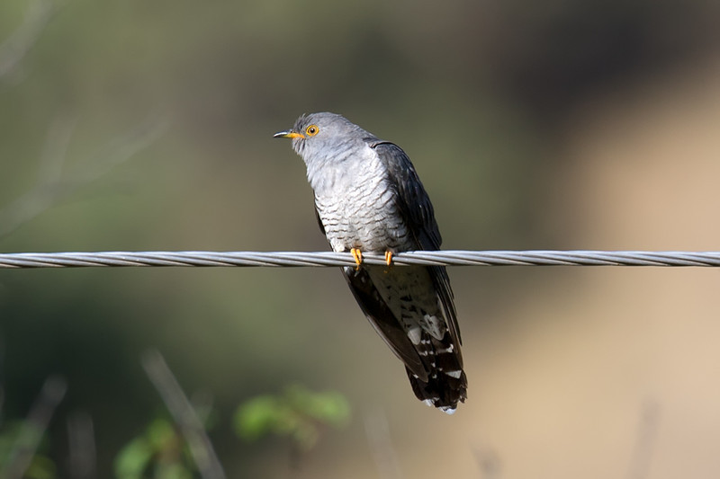 Documentation Shot: Common Cuckoo (Cuculus canorus) at Zaamin National Park, Uzbekistan