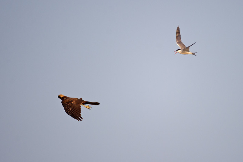 Common Tern (Sterna hirundo) and Marsh Harrier (Circus aeruginosus) at Aydar Lake, Nuratau, Uzbekistan