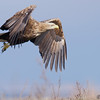 White-tailed Eagle / орлан-белохвост (Haliaeetus albicilla) at Aydarkul