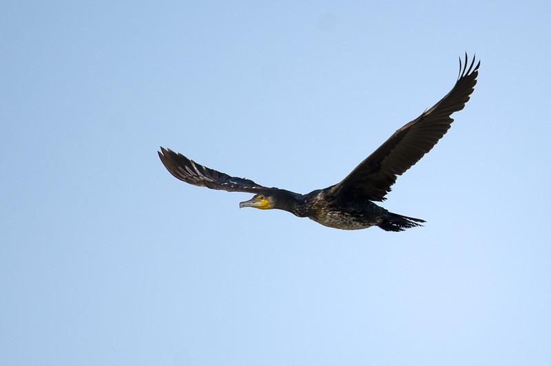 Cormorant (Phalacrocorax carbo) at Aydar Lake, Nuratau, Uzbekistan
