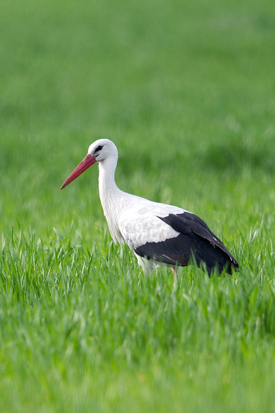 White Stork (Ciconia ciconia) at Aydar Kul, Jizzakh, Uzbekistan