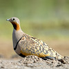 Black Bellied Sandgrouse (Syrrhaptes paradoxus) at Jaeran, Bukhara, Uzbekistan