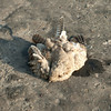 ROADKILL:  Egyptian Nightjar, Between Uchquduq and Nukus